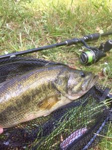 Largemouth Bass — Quentin Ferres