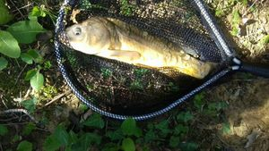 Mirror Carp — Thomass Fishing