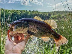 Largemouth Bass — Julien Barret