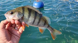 European Perch — Hicham Jost