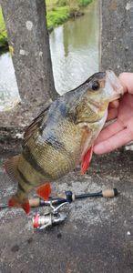 European Perch — Fredo Fishing