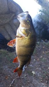 European Perch — Ty Gaster