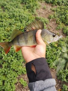 European Perch — Moïse Hemici