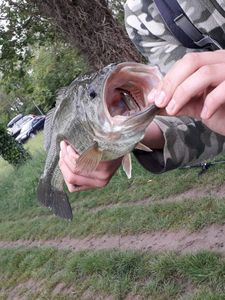Largemouth Bass — Jules Alr
