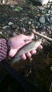 Brown Trout — Anselme  Boissonnet