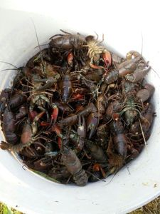 American Signal Crayfish — Julien Roca