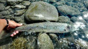 Atlantic Salmon (Landlocked) — Xubakal EH