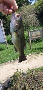 Largemouth Bass — Olaf Jean Antoine