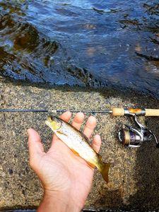 Truite Fario — Cédric Fishtique