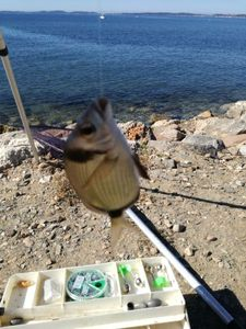 Common Two-banded Seabream — Nicolas Jouanserre