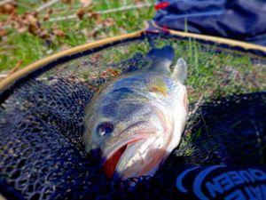 Smallmouth Bass — Noé Candiago