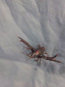Spinycheek Crayfish — Marceau Et Les Poissons