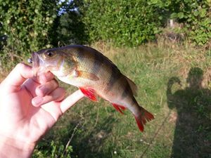 European Perch — Yugo Fishing