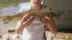 Brown Trout — Gregory Belmonte