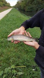 Brown Trout — Nathan Tournier