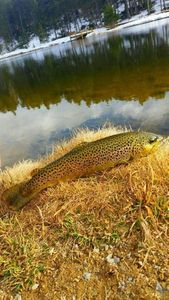 Brown Trout — Damien Rouanet