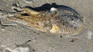 Common Cuttlefish — Dume  Tomasi