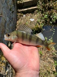European Perch — Louis Bézard