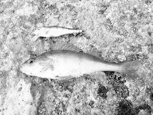 European Perch — Nicolas Auvinet