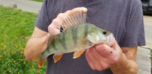 European Perch — Ianis_fishingbuffs
