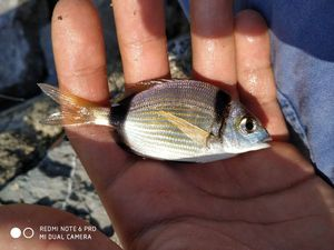 Common Two-banded Seabream — TIM FISH (Youtube)