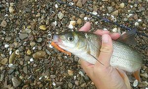Common Nase — Kr Fishing