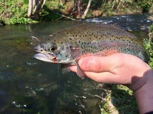 Rainbow Trout — Alexis  Warin