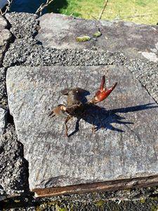 Spinycheek Crayfish — Pierre Falcone