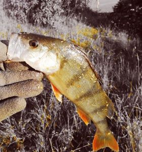 European Perch — Nounours Olivier