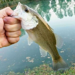 Largemouth Bass — Loris Trevisan