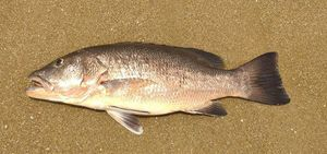 African Red Snapper — Thomas  Sauzon