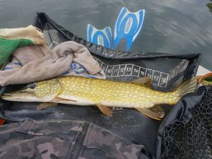 Northern Pike — Maxime  Boucher