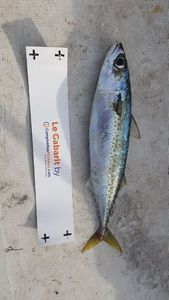 Chub Mackerel — Sebastien Fisher