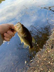 Largemouth Bass — Michael Wackmenko