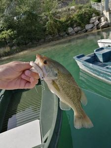 Largemouth Bass — Thomas Lazzari