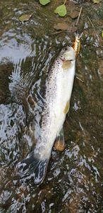 Brown Trout — Thibaut Cchl