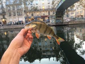 European Perch — Corentin Massaux