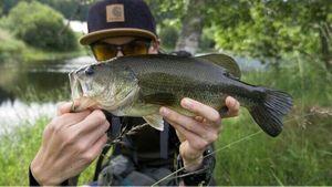 Largemouth Bass — Thomas Granjon
