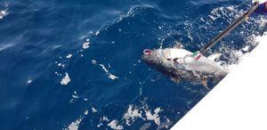 Bluefin Tuna — Alez 90