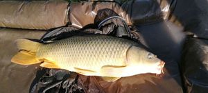 Common Carp — Guillaume  Burgan