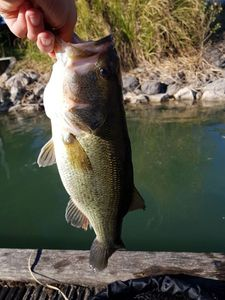 Largemouth Bass — Antoine Alc
