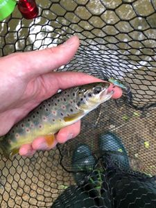 Brown Trout — Charles Testut