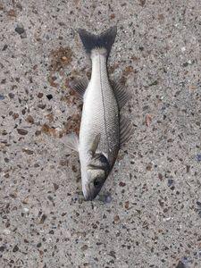 European Bass — Fabien Lefrançois