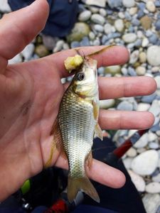 Common Carp — Arthur Chochon