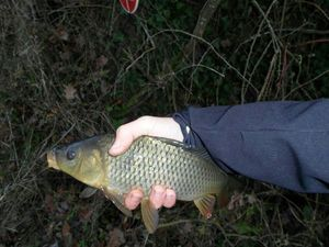 Common Carp — Arthur Chopin