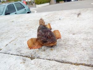 Brown Scorpionfish — Merlin Combes