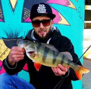 European Perch — Myk Fishingddict
