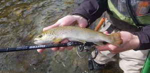 Brown Trout — Ju Sanmiquel CleeFishing