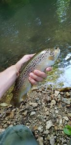 Brown Trout — Thibaut Cchl
