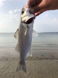 European Bass — Joseph Chambolle